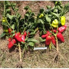 Семена перцев Найс F1 и Фаст F1 скоро появятся в новых сериях «Мировые семена Вита Грин Профи»  и «ЭКСТРА ЭКСКЛЮЗИВ»!